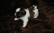 Tiny shih tzu puppy for sale