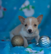 cute Toy Terrier Puppies for Sale