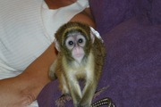 NGHTHT  Capuchin monkeys for sale